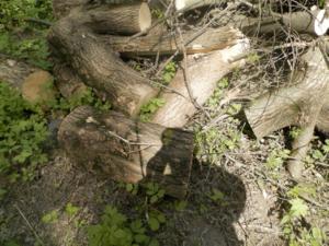 Фото №5. Крупные порубочные остатки клена, незаконная рубка. Территория национального парка «Лосиный остров», 2015г.