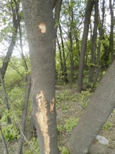 Фото №6. Сдиры коры клена, незаконные повреждения. Территория национального парка «Лосиный остров», 2015г.