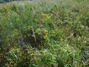 Фото 2. Рудеральная растительность по трассе подземного трубопровода.